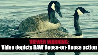 Dirty Birds: Goose Pornography