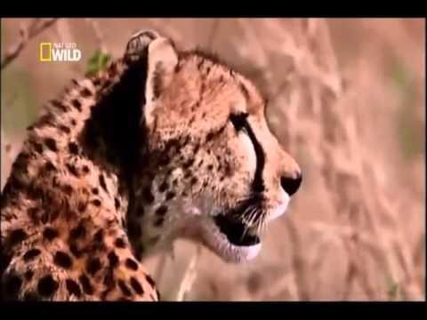 O ANIMAL MAIS VELOZ DO MUNDO, por NatGeo. - Disclose Education Channel.