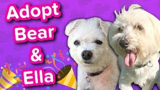 Adopt Ella and Bear // Havanese Mix and Poodle Mix // Adoptable Featurette