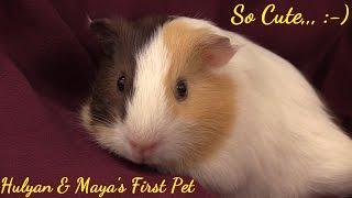 Hulyan & Maya's New PET. 2 Month Old Guinea Pigs...