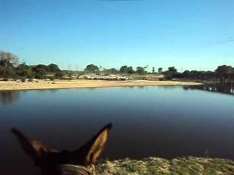 comitiva do pasoca transportando boiadas no rio negro pantanal