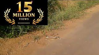 Snakes at Godrej mangroves, Mumbai- India- Cobra Vs. Russell's viper
