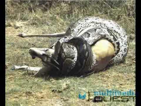 World Biggest Snake Ever