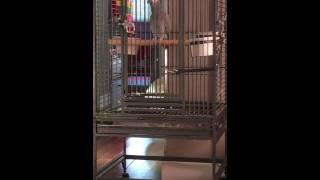 My African grey (Bella) trying to copy pink panther theme song (English and Urdu version)