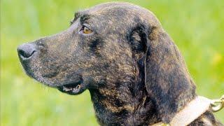 Plott Hound - Dog Breed