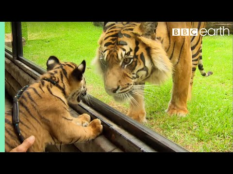 Cubs Meet Adult Tiger for the First Time Tigers About The House BBC Earth
