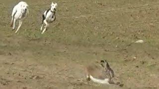 14.- Galgos vs Liebres XIV --- Greyhounds vs Hares XIV