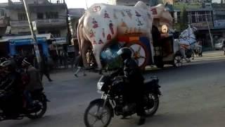 World big cow in nepal