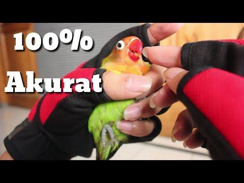 8 ciri ciri lovebird jantan 100% akurat