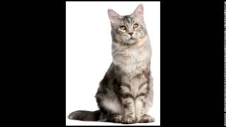 Bunyi Kucing Video 3gp Mp4 Flv Hd Download