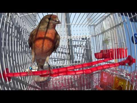 pardillo linnet Carduelis cannabina φα� ετο x female canary κα� αρα