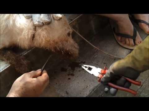 Briga entre porco espinho e cachorro