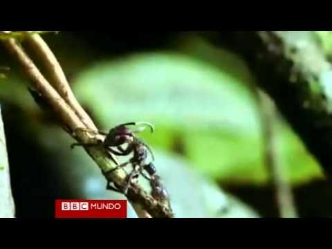 Imágenes de una hormiga zombi por un hongo parásito Video BBC Mundo