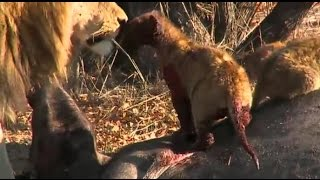 Safari Live :  Styx Pride with all 8 Cubs on a fresh kill  Aug 26, 2016