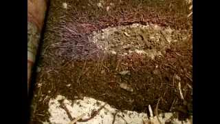 Worm Farm: ANC BEAST feeding on chicken feed 070415