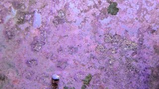 How to | Grow Coralline Algae 4K