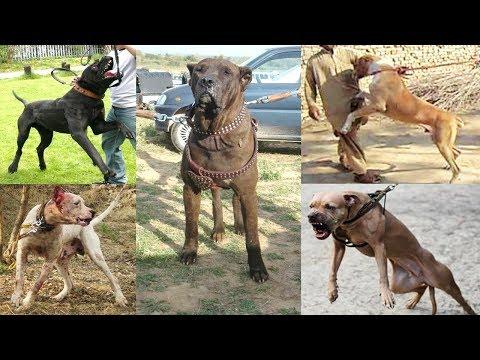 Pelea de Perros Bully Kutta Mascota o Asesino