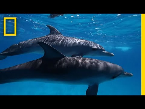 Here's What We Know About Dolphin Intelligence   National Geographic