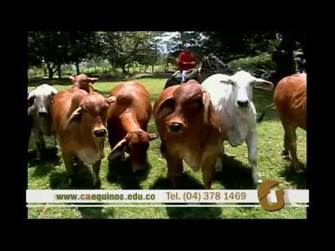 el confinamiento bovino caequinos.edu.co