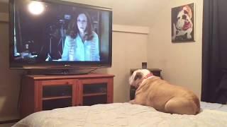 Bulldog Reacts To Terrifying Nun Scene in