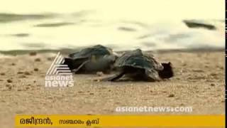 Sea turtle sent back to Sea in Thrissur Valapad   കടലാമകളെ വിരിയിച്ച് തിരികെ കടലില് വിട്ടു