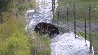bear vs the electric fence.m2ts