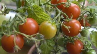 Tomato Farming (टमाटर की खेती) In Baatein Kheti Ki - On Green TV