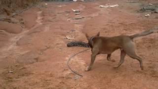 Pitt bull vs cobra