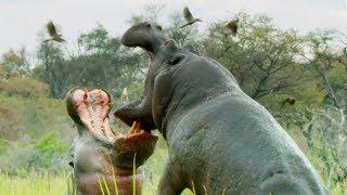 Do Hippos Swim? | Natural World: Hippos | BBC Earth
