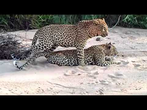 Xxx Mp4 Sex In The Wild Leopards Mating Big Cats In Africa 3gp Sex
