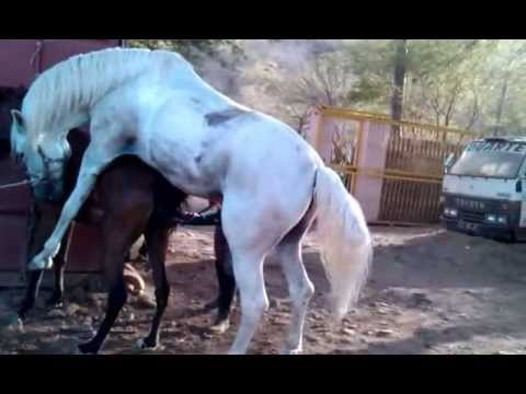 Horse mating Cruzamento de cavalo Sete Sois e I Estrela Al Maisan