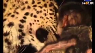مهربانی عجیب حیوانات وحشی در هنگام شکار - عجیب ولی واقعی