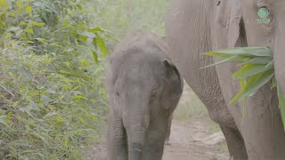 The journey of elephant Mae Bua Jaan and her baby Zuki to reunion with their herd