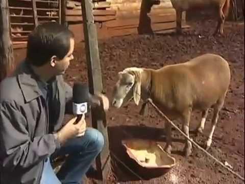 Conheça o carneiro encrenqueiro do Paraná Domingo Espetacular