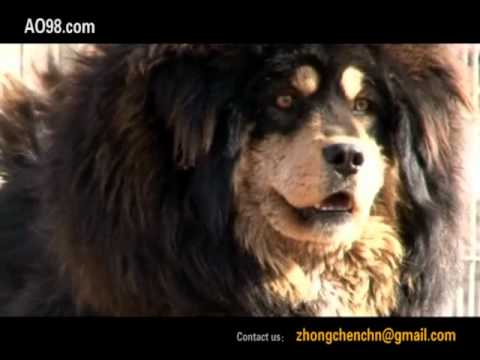 Tibetan Mastiff!The Return of the King