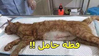 """قطة """"حامل"""" فقدت حياتها في حادث مرور وتم إخراج صغارها أحياء"""
