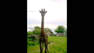 How to call Oliver the Giraffe...
