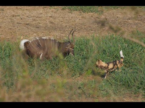 Wild dogs take down male Nyala at Hluhluwe - Graphic