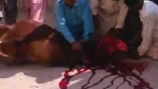Sadiq Abad Eid Ul Adha Qurbani vedio.3gp