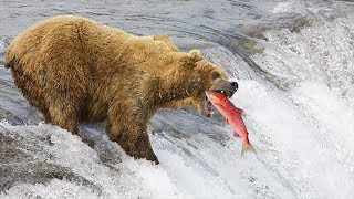 HOW GRIZZLY BEAR CATCHING FISH? | Discovery Animal Planet