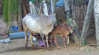KANGAYAM SERIES: 11,How to get Milk From Cow \ Women and Milking Cow \ Mother Cow and Baby Cow.