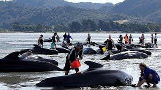 مرگ ۳۰۰ نهنگ در سواحل نیوزیلند؛ یکصد نهنگ نجات یافتند