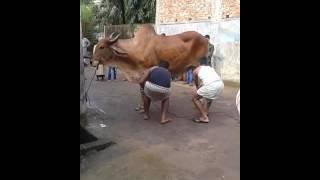 Bangladeshi gorur paglami