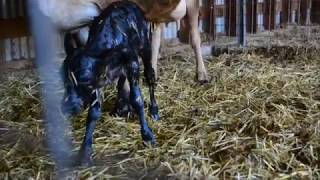 Our dairy cow gives birth to a calf!