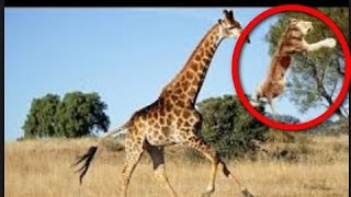 048_Lion vs Giraffe - Shocking Giraffe Kills Lion Bloody Fight 2016