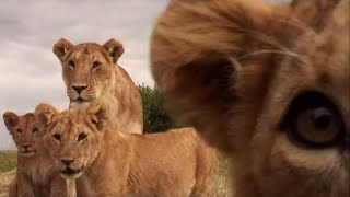 Cute Lion Cubs Play With Spy Camera | BBC Earth