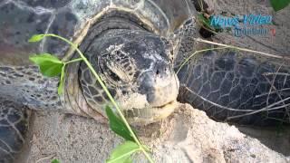 VIDEO Menyaksikan Penyu HIjau Bertelur di Pulau Sangalaki