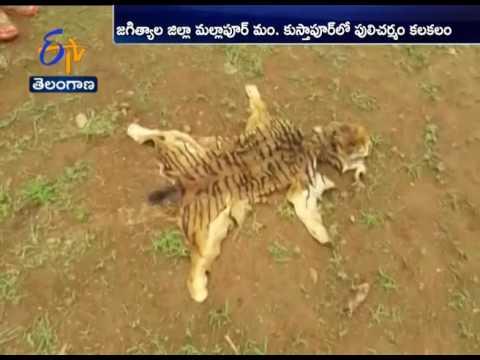 Tiger Skin Identified in Krishnapur | Villagers Complaint Forest Officials | Jagitial Dist