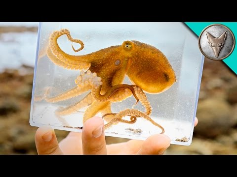Incredible Octopus Catch
