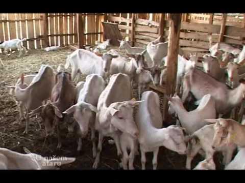 Farma koza Mijailovic U nasem ataru 291
